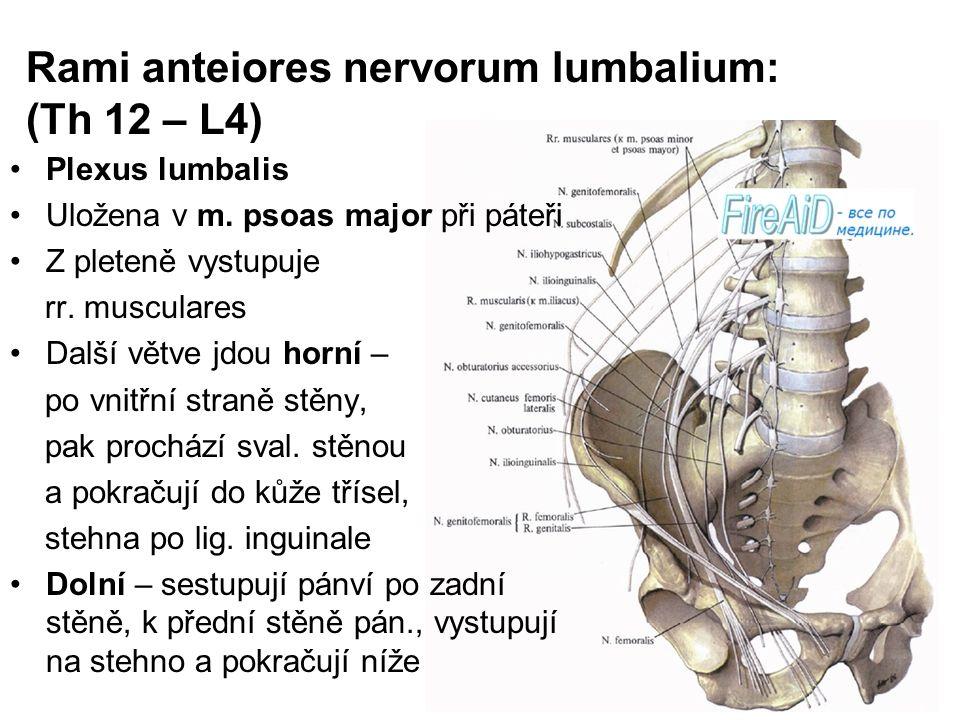 Rami anteiores nervorum lumbalium: (Th 12 – L4) Plexus lumbalis Uložena v m. psoas major při páteři Z pleteně vystupuje rr. musculares Další větve jdo