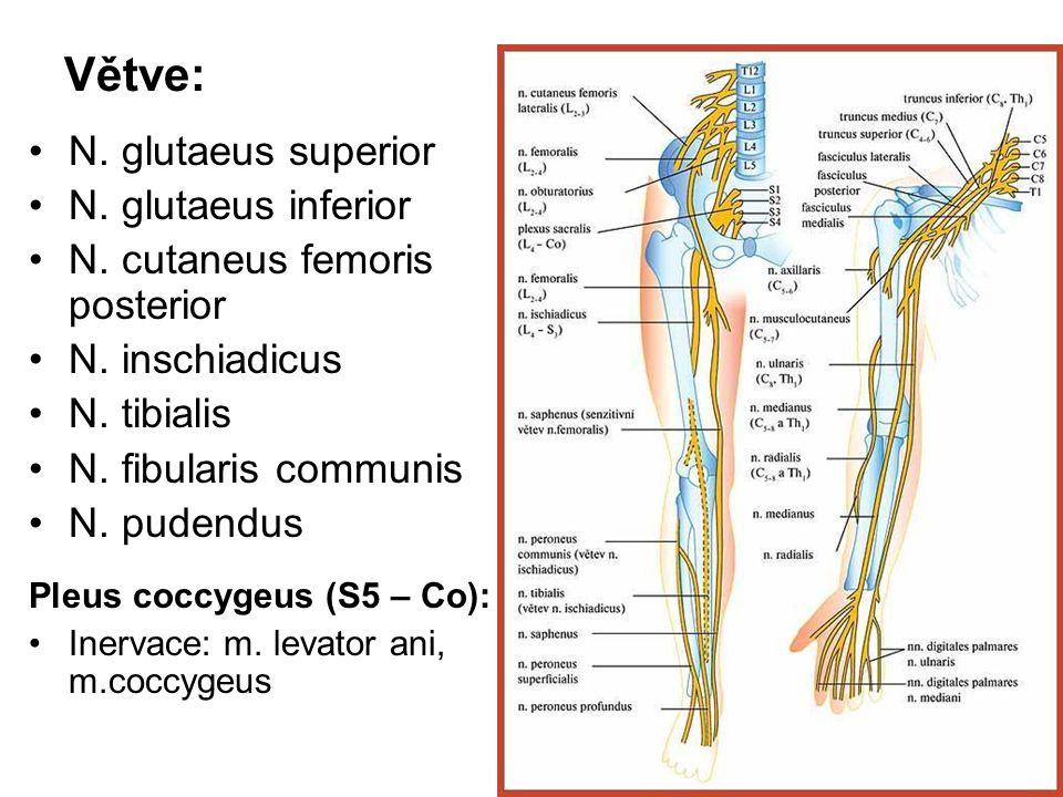 Větve: N. glutaeus superior N. glutaeus inferior N. cutaneus femoris posterior N. inschiadicus N. tibialis N. fibularis communis N. pudendus Pleus coc