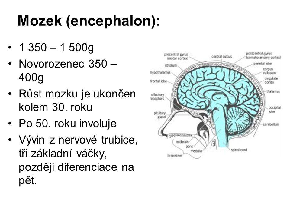Mozek (encephalon): 1 350 – 1 500g Novorozenec 350 – 400g Růst mozku je ukončen kolem 30. roku Po 50. roku involuje Vývin z nervové trubice, tři zákla