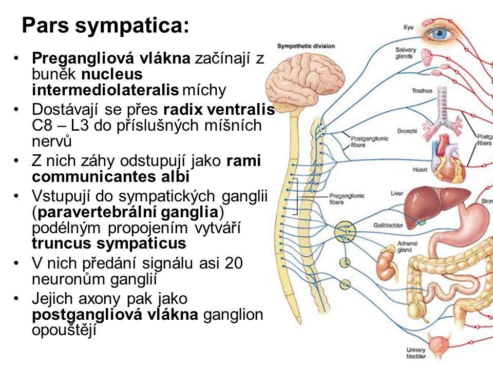 Pars sympatica: Pregangliová vlákna začínají z buněk nucleus intermediolateralis míchy Dostávají se přes radix ventralis C8 – L3 do příslušných míšníc