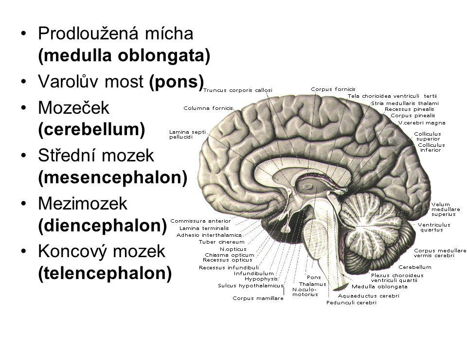 Prodloužená mícha (medulla oblongata) Varolův most (pons) Mozeček (cerebellum) Střední mozek (mesencephalon) Mezimozek (diencephalon) Koncový mozek (t