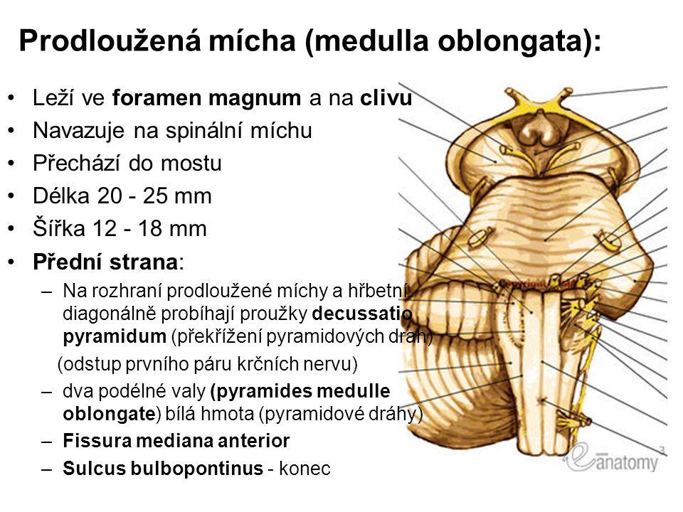 Prodloužená mícha (medulla oblongata): Leží ve foramen magnum a na clivu Navazuje na spinální míchu Přechází do mostu Délka 20 - 25 mm Šířka 12 - 18 m