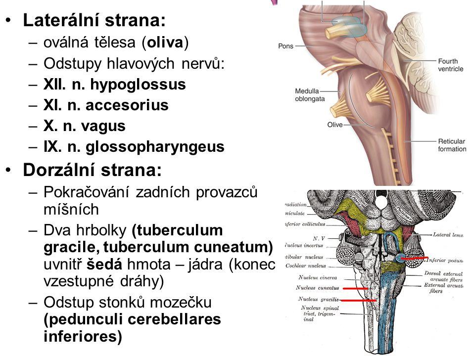 Laterální strana: –oválná tělesa (oliva) –Odstupy hlavových nervů: –XII. n. hypoglossus –XI. n. accesorius –X. n. vagus –IX. n. glossopharyngeus Dorzá