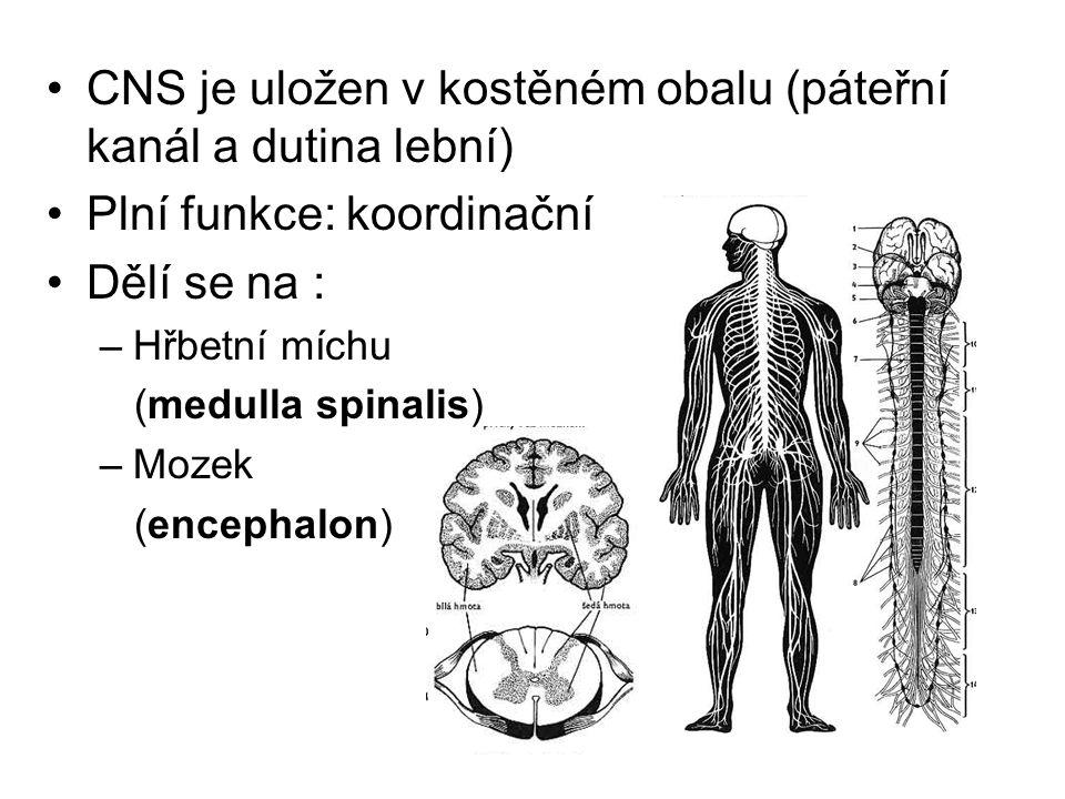 CNS je uložen v kostěném obalu (páteřní kanál a dutina lební) Plní funkce: koordinační Dělí se na : –Hřbetní míchu (medulla spinalis) –Mozek (encephal