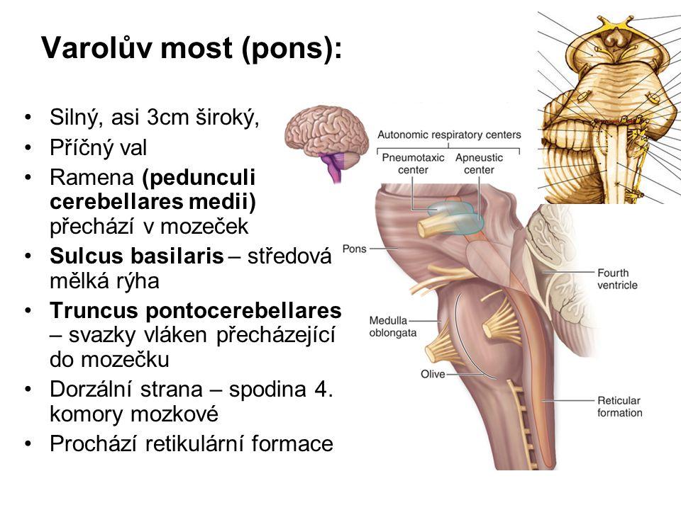 Varolův most (pons): Silný, asi 3cm široký, Příčný val Ramena (pedunculi cerebellares medii) přechází v mozeček Sulcus basilaris – středová mělká rýha