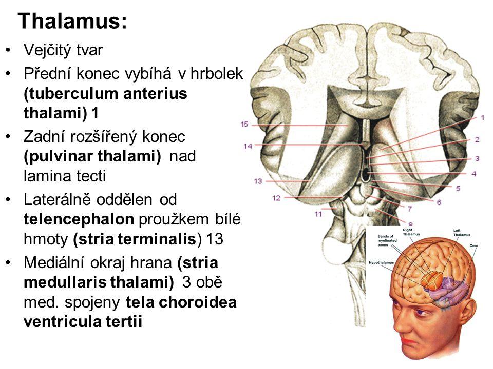 Thalamus: Vejčitý tvar Přední konec vybíhá v hrbolek (tuberculum anterius thalami) 1 Zadní rozšířený konec (pulvinar thalami) nad lamina tecti Laterál
