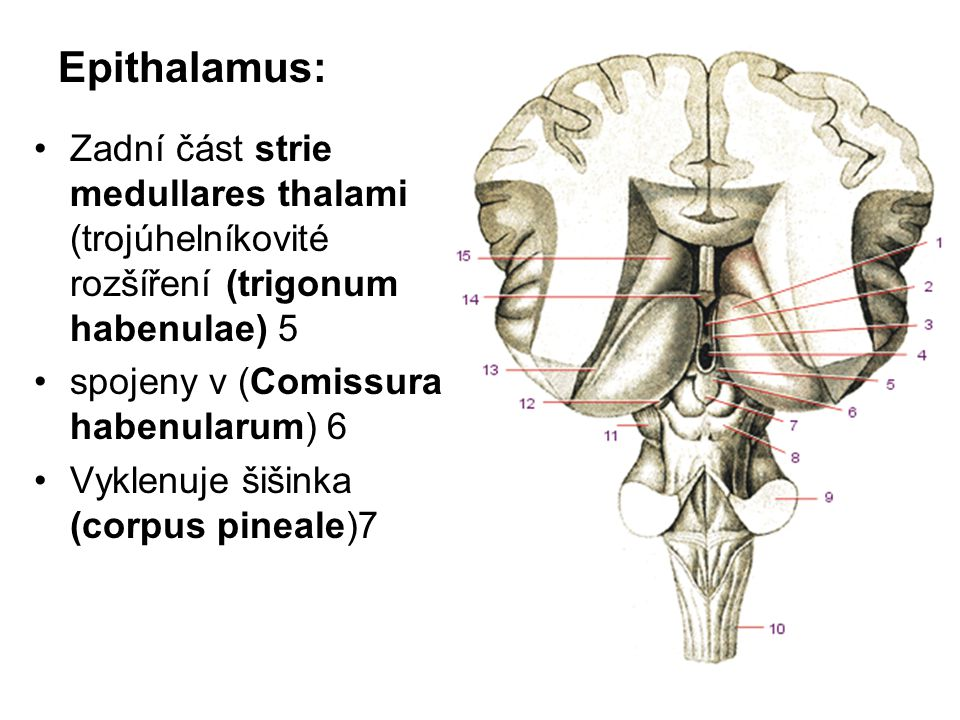 Epithalamus: Zadní část strie medullares thalami (trojúhelníkovité rozšíření (trigonum habenulae) 5 spojeny v (Comissura habenularum) 6 Vyklenuje šiši