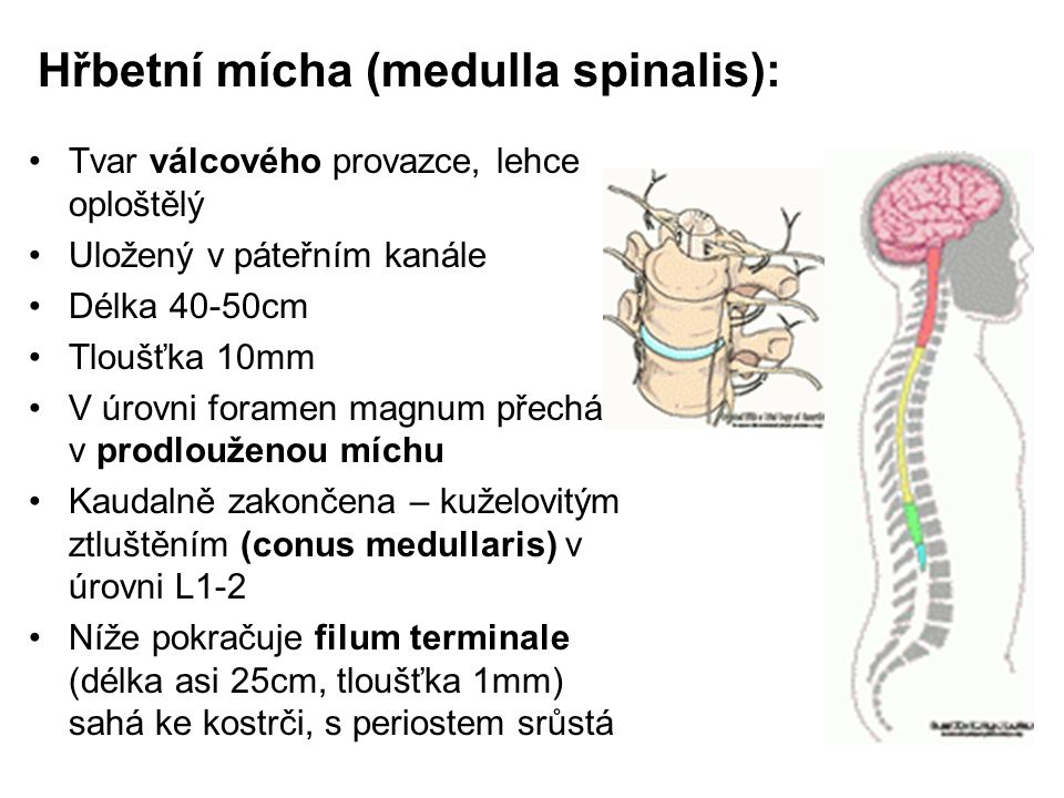 Hřbetní mícha (medulla spinalis): Tvar válcového provazce, lehce oploštělý Uložený v páteřním kanále Délka 40-50cm Tloušťka 10mm V úrovni foramen magn