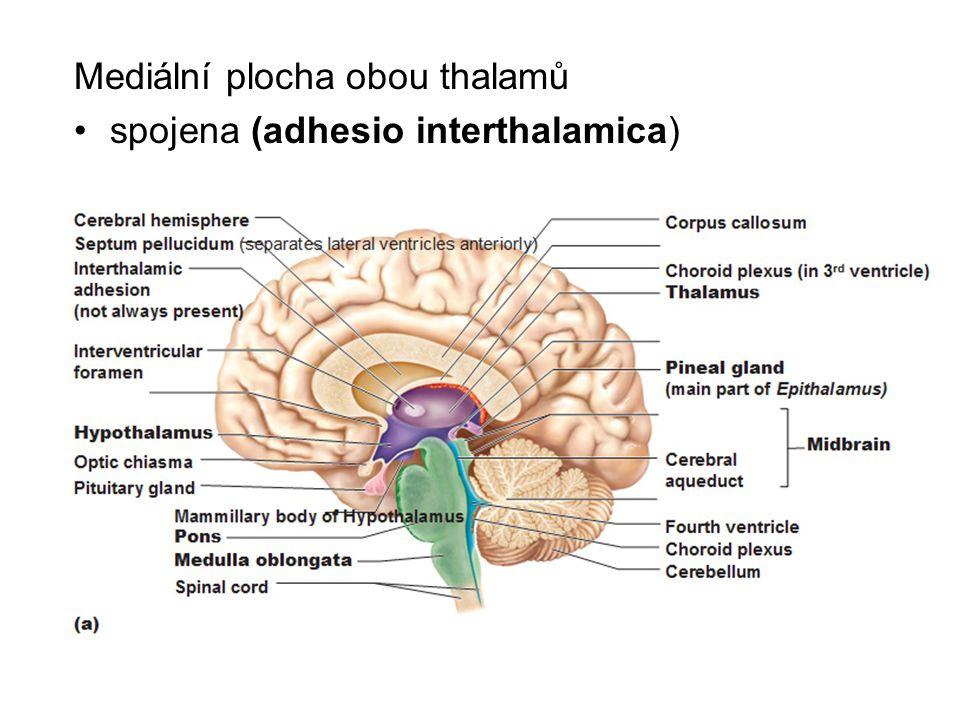 Mediální plocha obou thalamů spojena (adhesio interthalamica)