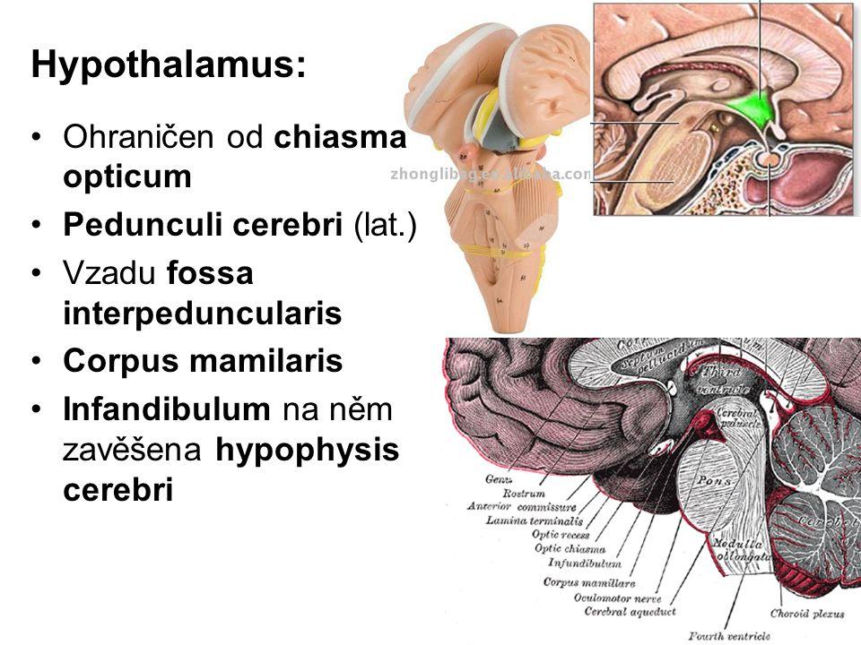 Hypothalamus: Ohraničen od chiasma opticum Pedunculi cerebri (lat.) Vzadu fossa interpeduncularis Corpus mamilaris Infandibulum na něm zavěšena hypoph