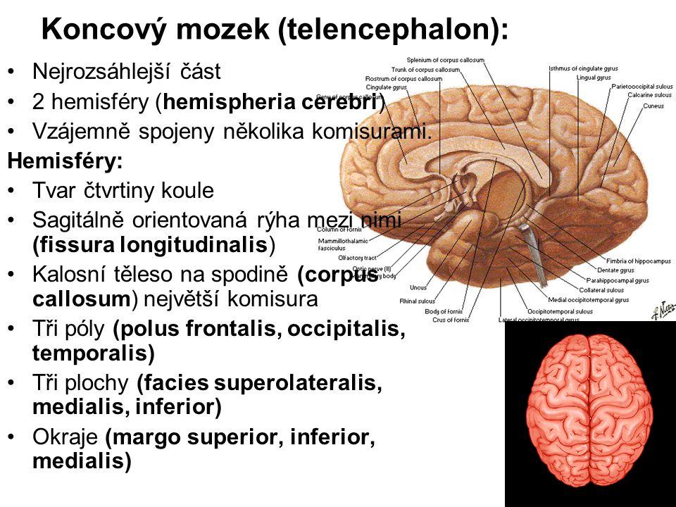 Koncový mozek (telencephalon): Nejrozsáhlejší část 2 hemisféry (hemispheria cerebri) Vzájemně spojeny několika komisurami. Hemisféry: Tvar čtvrtiny ko