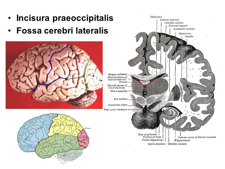 Incisura praeoccipitalis Fossa cerebri lateralis
