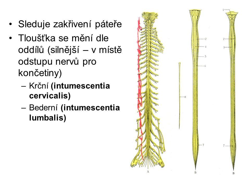 Sleduje zakřivení páteře Tloušťka se mění dle oddílů (silnější – v místě odstupu nervů pro končetiny) –Krční (intumescentia cervicalis) –Bederní (intu