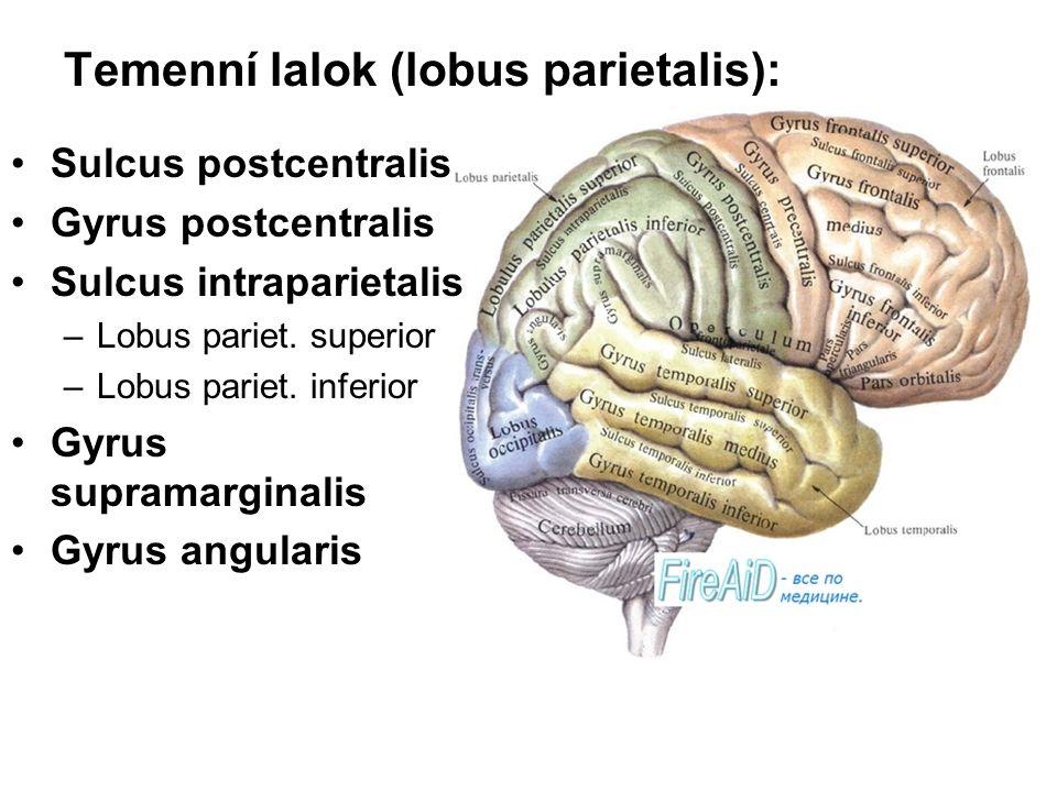 Temenní lalok (lobus parietalis): Sulcus postcentralis Gyrus postcentralis Sulcus intraparietalis –Lobus pariet. superior –Lobus pariet. inferior Gyru