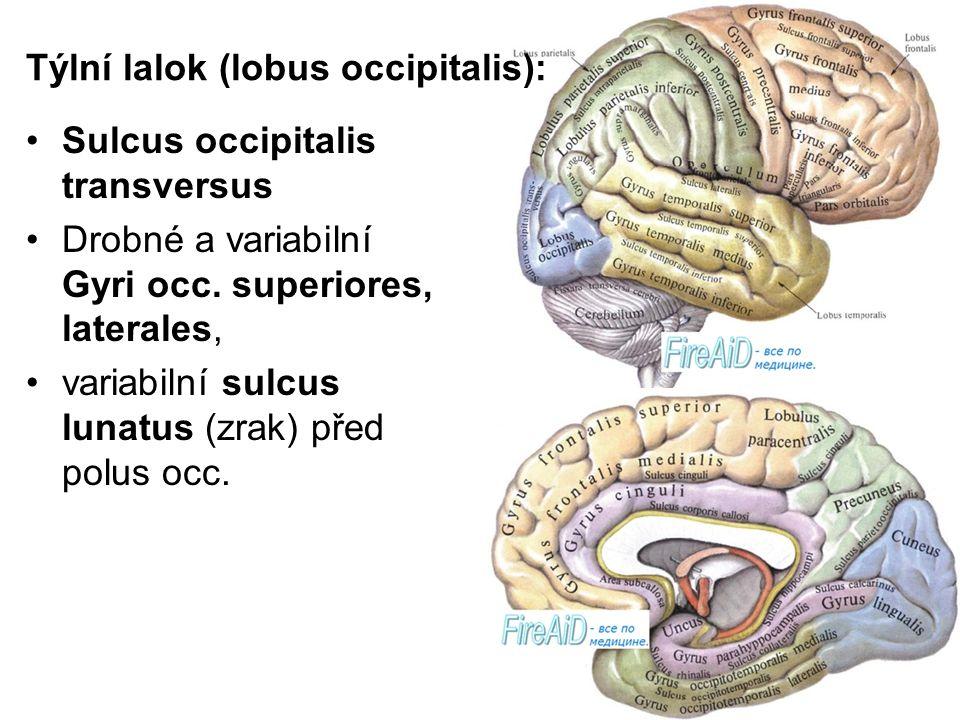 Týlní lalok (lobus occipitalis): Sulcus occipitalis transversus Drobné a variabilní Gyri occ. superiores, laterales, variabilní sulcus lunatus (zrak)