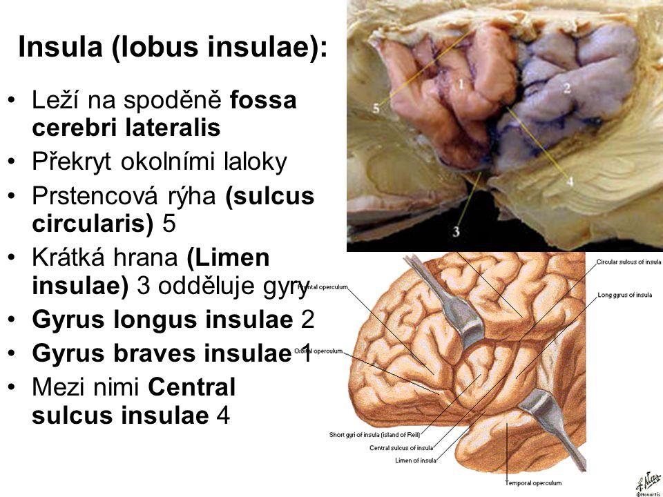 Insula (lobus insulae): Leží na spoděně fossa cerebri lateralis Překryt okolními laloky Prstencová rýha (sulcus circularis) 5 Krátká hrana (Limen insu