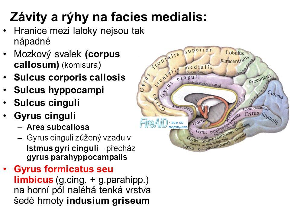 Závity a rýhy na facies medialis: Hranice mezi laloky nejsou tak nápadné Mozkový svalek (corpus callosum) (komisura ) Sulcus corporis callosis Sulcus