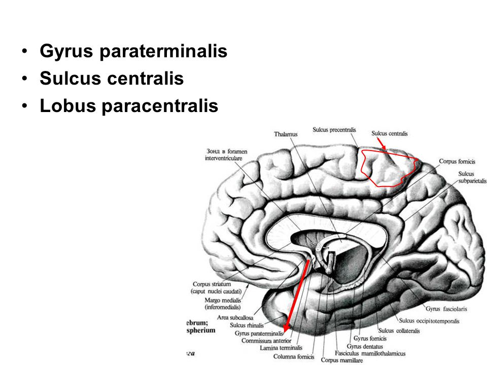 Gyrus paraterminalis Sulcus centralis Lobus paracentralis