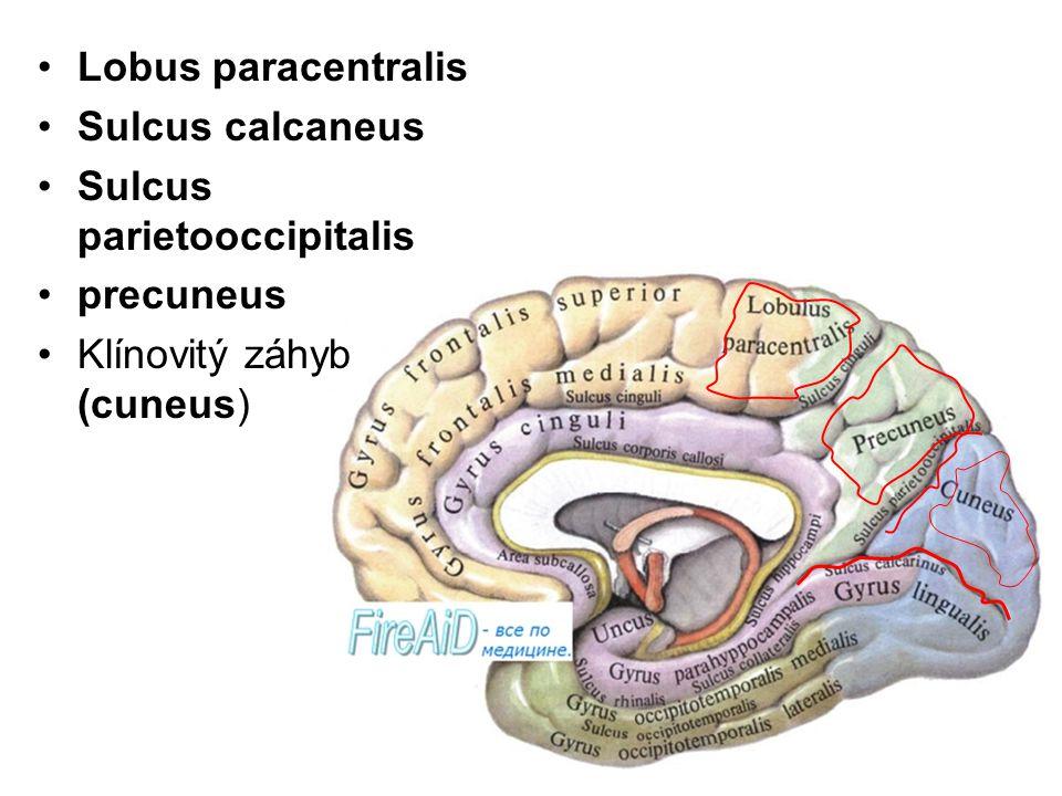 Sulcus calcaneus Sulcus parietooccipitalis precuneus Klínovitý záhyb (cuneus)