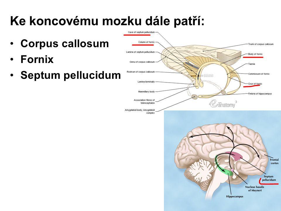 Ke koncovému mozku dále patří: Corpus callosum Fornix Septum pellucidum