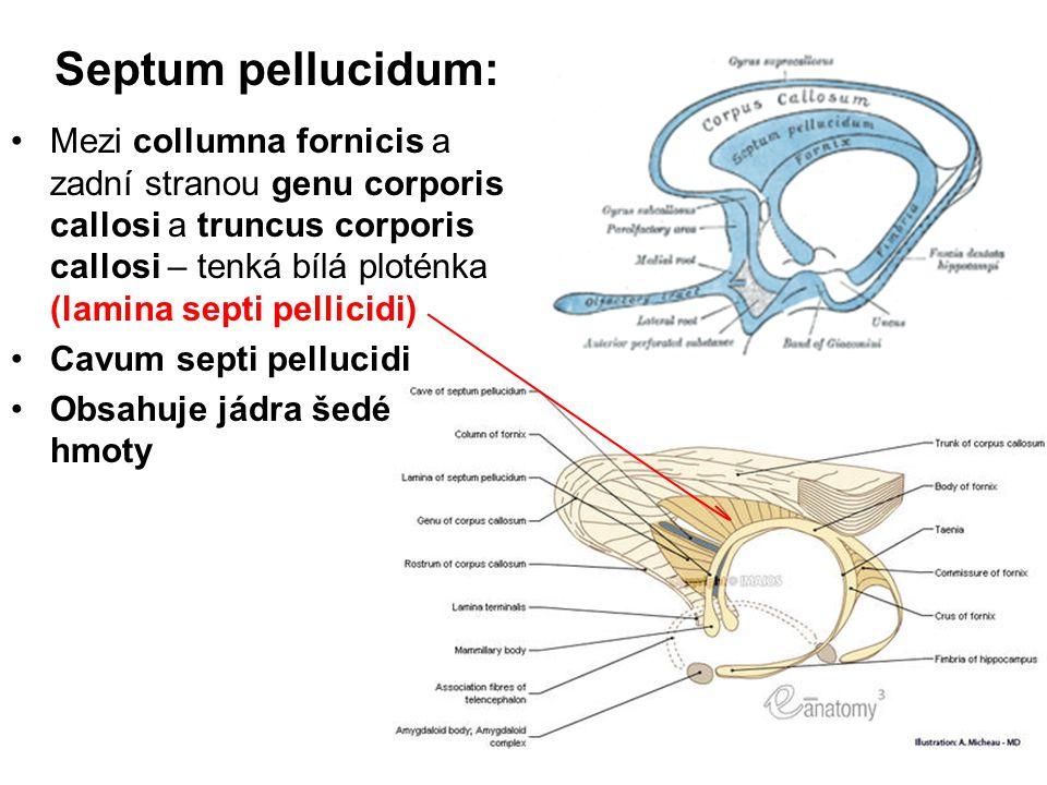 Septum pellucidum: Mezi collumna fornicis a zadní stranou genu corporis callosi a truncus corporis callosi – tenká bílá ploténka (lamina septi pellici