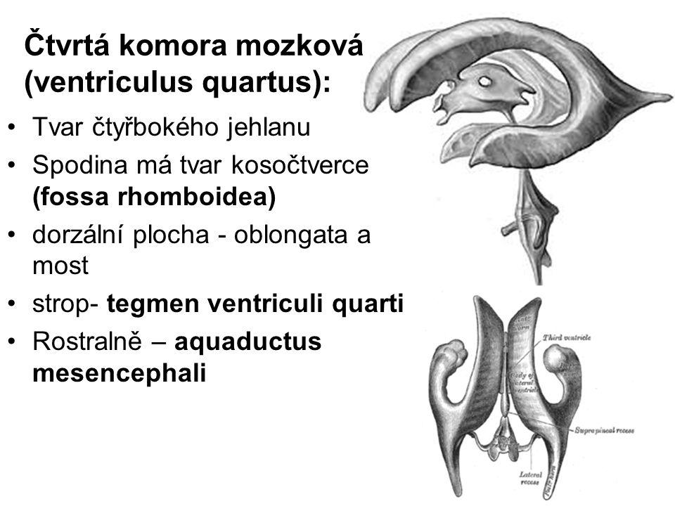 Čtvrtá komora mozková (ventriculus quartus): Tvar čtyřbokého jehlanu Spodina má tvar kosočtverce (fossa rhomboidea) dorzální plocha - oblongata a most