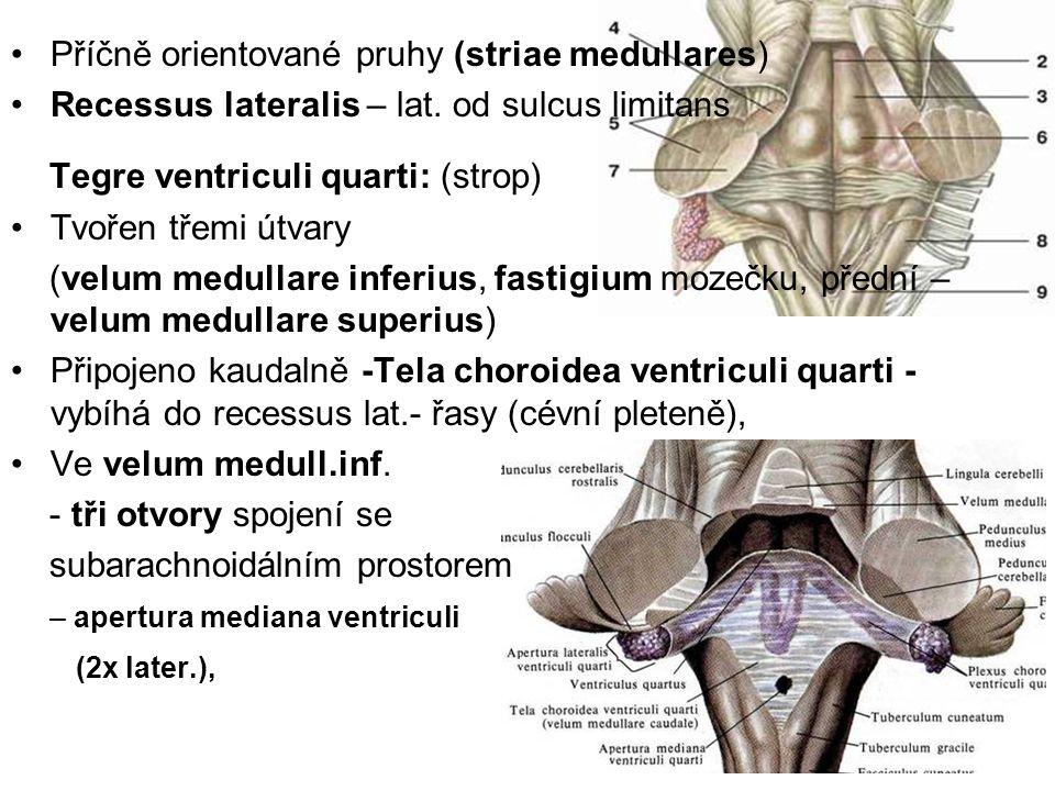 Příčně orientované pruhy (striae medullares) Recessus lateralis – lat. od sulcus limitans Tegre ventriculi quarti: (strop) Tvořen třemi útvary (velum