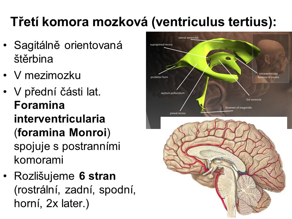 Třetí komora mozková (ventriculus tertius): Sagitálně orientovaná štěrbina V mezimozku V přední části lat. Foramina interventricularia (foramina Monro