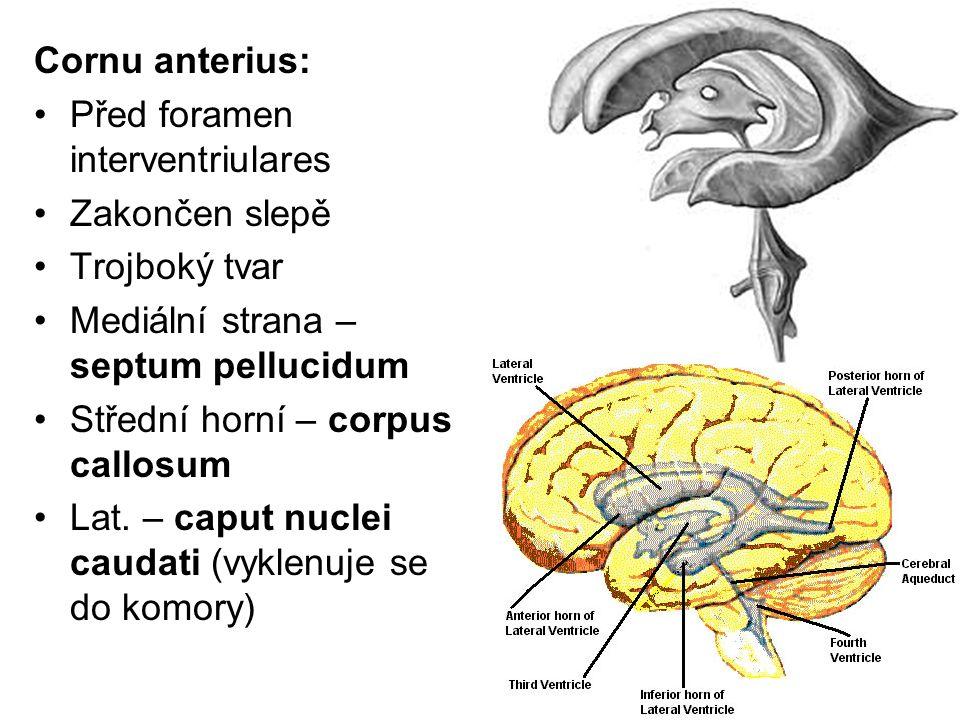 Cornu anterius: Před foramen interventriulares Zakončen slepě Trojboký tvar Mediální strana – septum pellucidum Střední horní – corpus callosum Lat. –