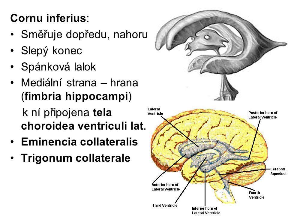 Cornu inferius: Směřuje dopředu, nahoru Slepý konec Spánková lalok Mediální strana – hrana (fimbria hippocampi) k ní připojena tela choroidea ventricu