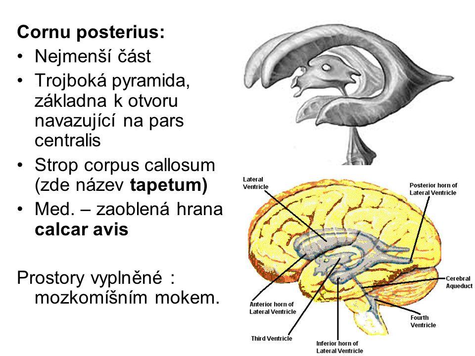 Cornu posterius: Nejmenší část Trojboká pyramida, základna k otvoru navazující na pars centralis Strop corpus callosum (zde název tapetum) Med. – zaob