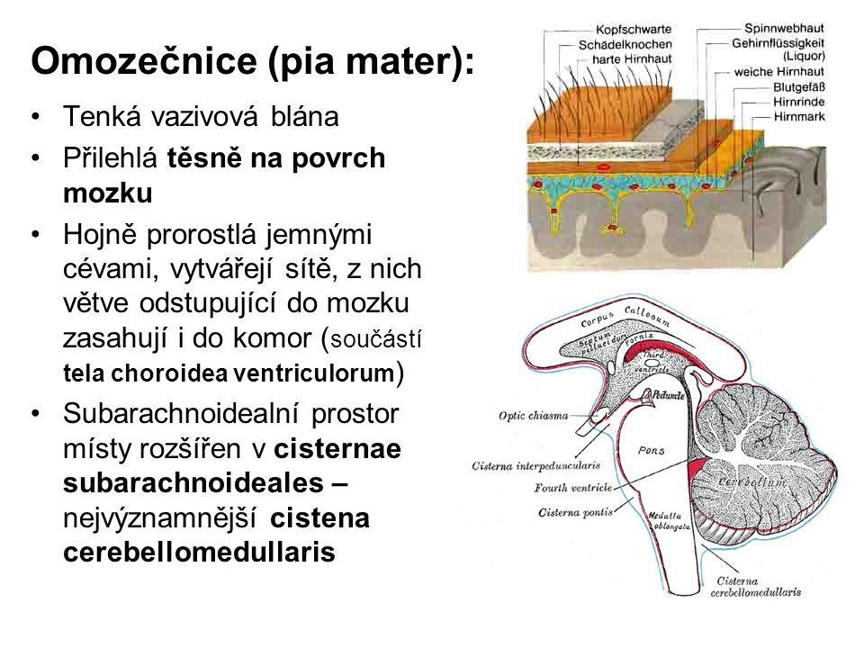 Omozečnice (pia mater): Tenká vazivová blána Přilehlá těsně na povrch mozku Hojně prorostlá jemnými cévami, vytvářejí sítě, z nich větve odstupující d