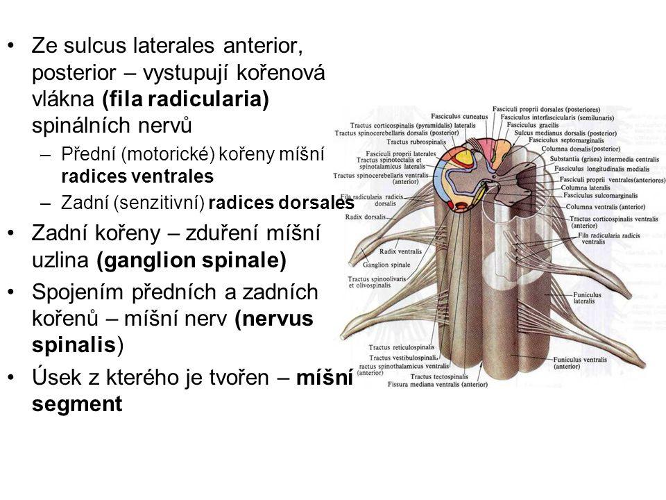 Ze sulcus laterales anterior, posterior – vystupují kořenová vlákna (fila radicularia) spinálních nervů –Přední (motorické) kořeny míšní radices ventr
