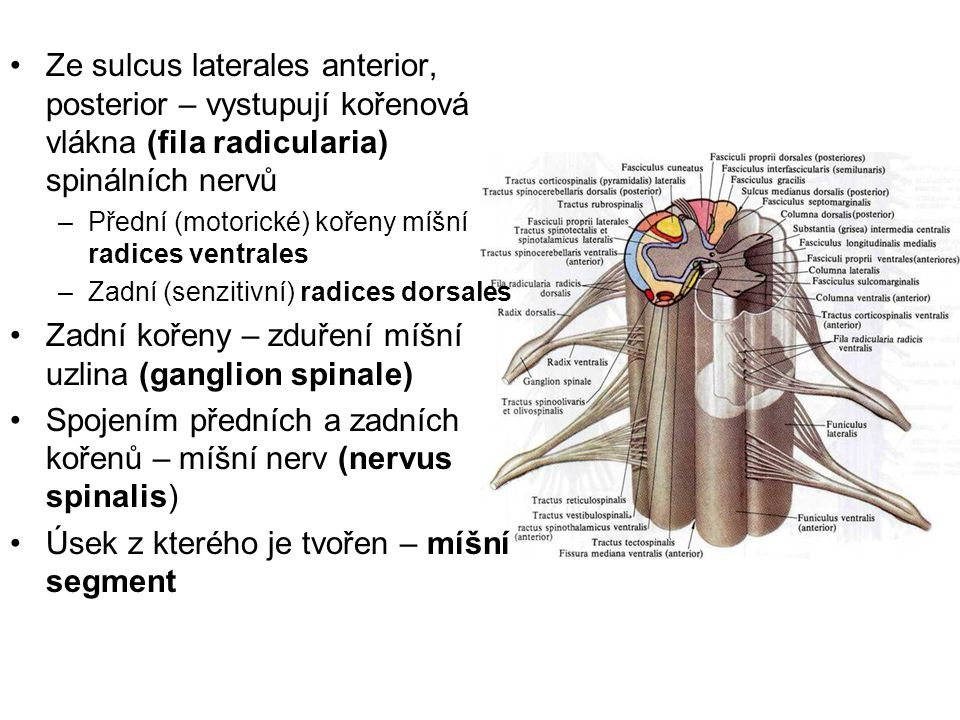 Epithalamus: Zadní část strie medullares thalami (trojúhelníkovité rozšíření (trigonum habenulae) 5 spojeny v (Comissura habenularum) 6 Vyklenuje šišinka (corpus pineale)7