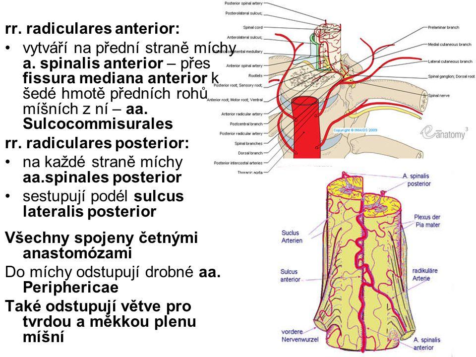 rr. radiculares anterior: vytváří na přední straně míchy a. spinalis anterior – přes fissura mediana anterior k šedé hmotě předních rohů míšních z ní