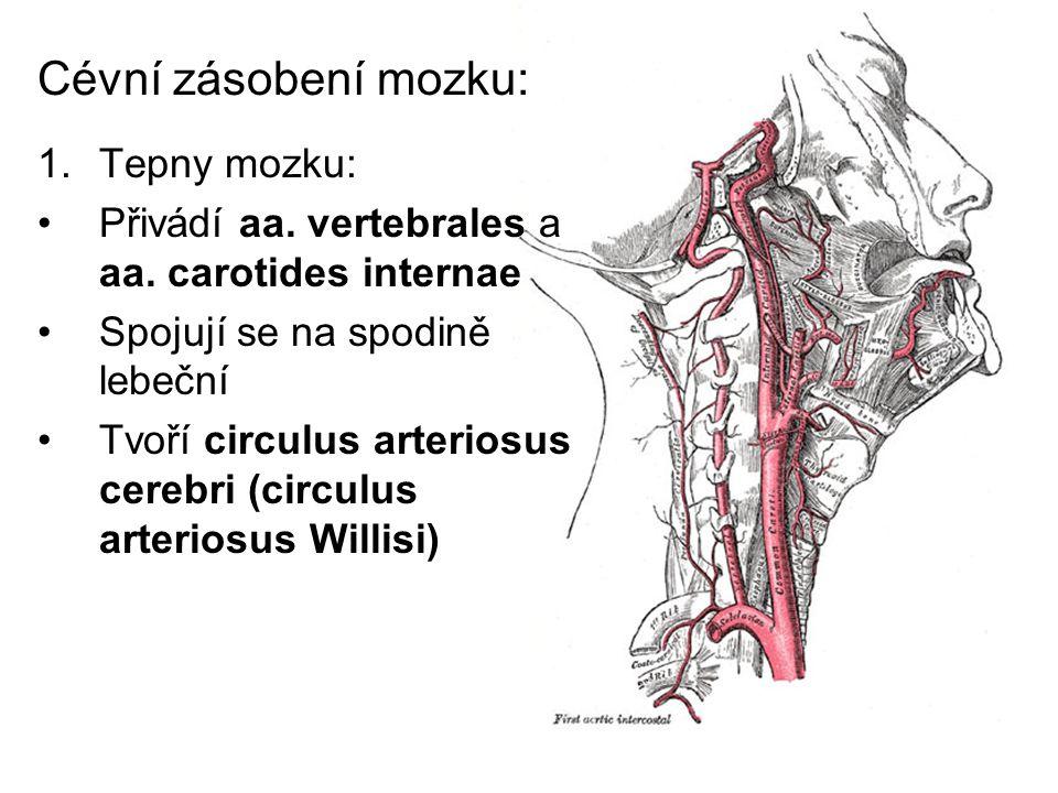 Cévní zásobení mozku: 1.Tepny mozku: Přivádí aa. vertebrales a aa. carotides internae Spojují se na spodině lebeční Tvoří circulus arteriosus cerebri