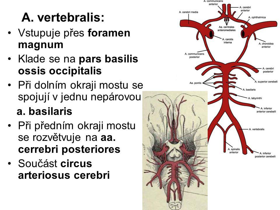 A. vertebralis: Vstupuje přes foramen magnum Klade se na pars basilis ossis occipitalis Při dolním okraji mostu se spojují v jednu nepárovou a. basila