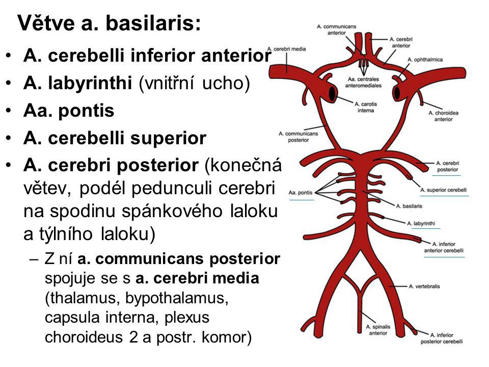 Větve a. basilaris: A. cerebelli inferior anterior A. labyrinthi (vnitřní ucho) Aa. pontis A. cerebelli superior A. cerebri posterior (konečná větev,