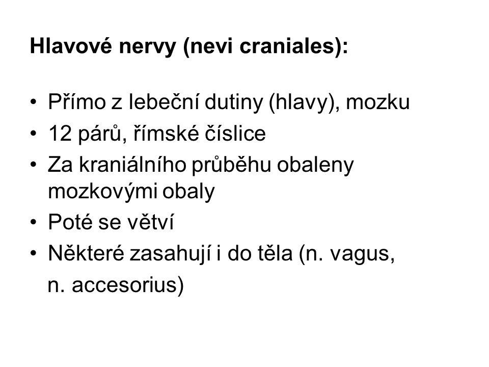Hlavové nervy (nevi craniales): Přímo z lebeční dutiny (hlavy), mozku 12 párů, římské číslice Za kraniálního průběhu obaleny mozkovými obaly Poté se v