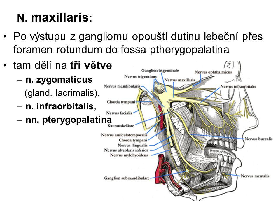 N. maxillaris : Po výstupu z gangliomu opouští dutinu lebeční přes foramen rotundum do fossa ptherygopalatina tam dělí na tři větve –n. zygomaticus (g