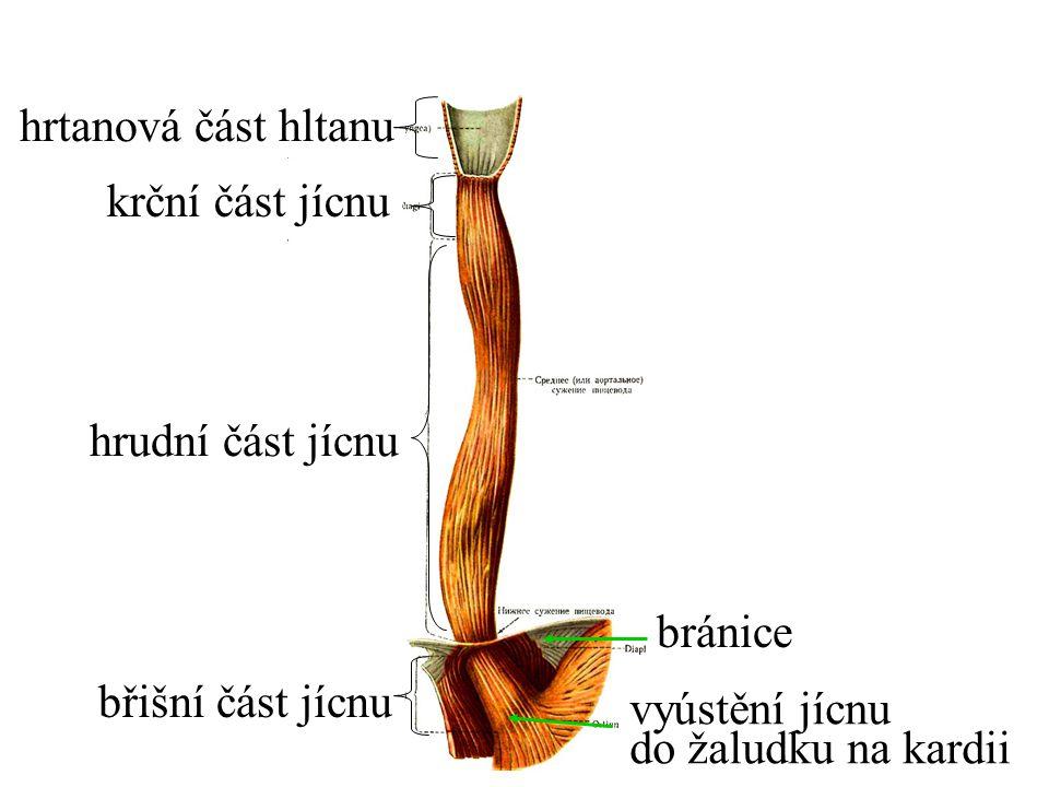 hrudní část jícnu krční část jícnu hrtanová část hltanu břišní část jícnu vyústění jícnu do žaludku na kardii bránice