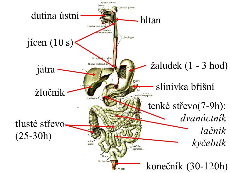 dutina ústní jícen (10 s) hltan játra žlučník žaludek (1 - 3 hod) slinivka břišní žlučník tenké střevo(7-9h): dvanáctník lačník kyčelník tlusté střevo (25-30h) konečník (30-120h)