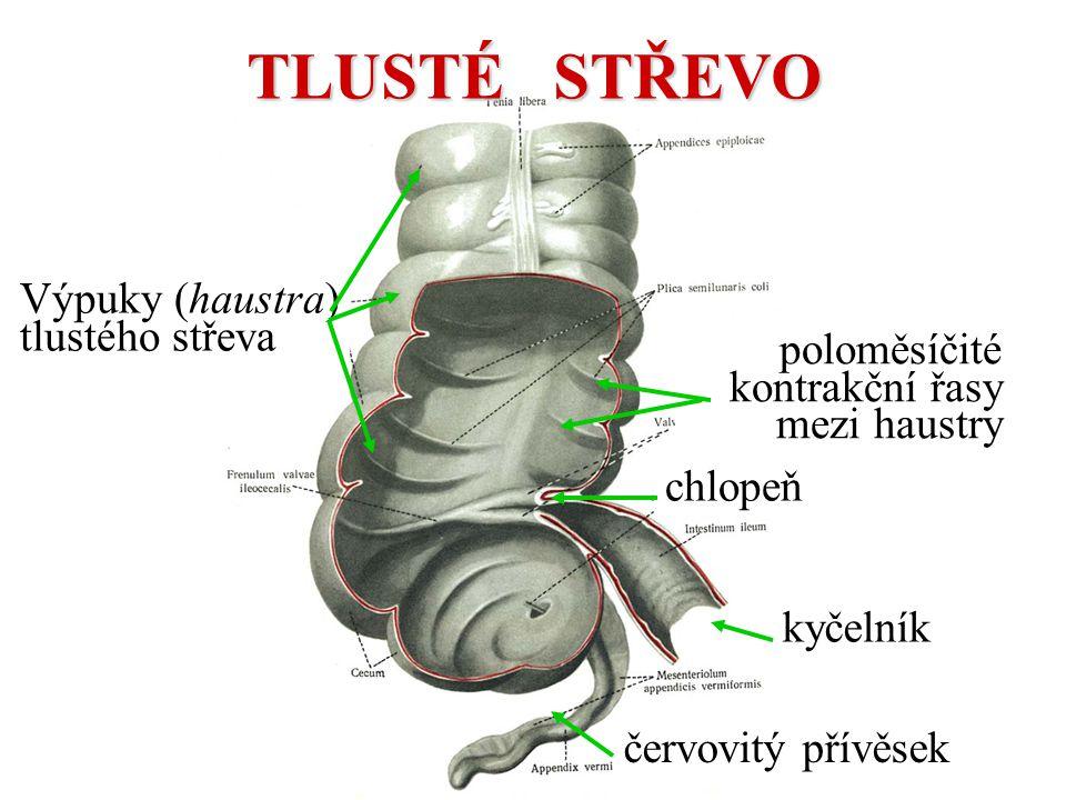 kyčelník červovitý přívěsek chlopeň Výpuky (haustra) tlustého střeva poloměsíčité kontrakční řasy mezi haustry TLUSTÉ STŘEVO