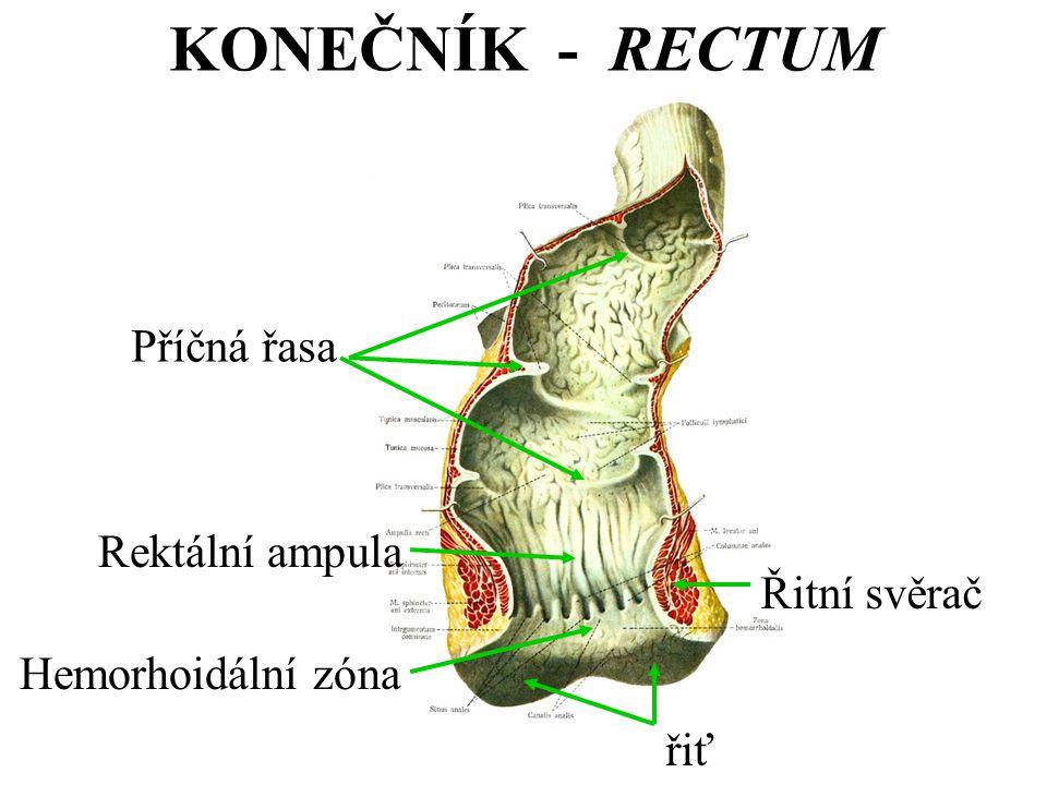 řiť Řitní svěrač Hemorhoidální zóna Rektální ampula Příčná řasa KONEČNÍK - RECTUM