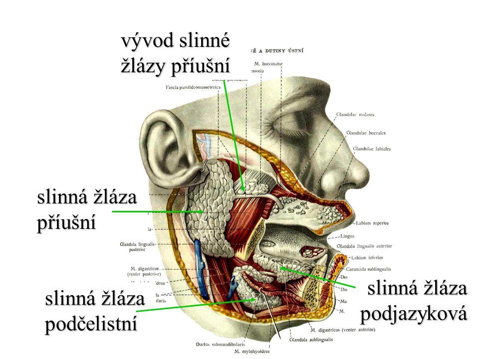 řasy klky mikroklky příčné řasy sliznice Okruží (mesenterium) svalová vrstva