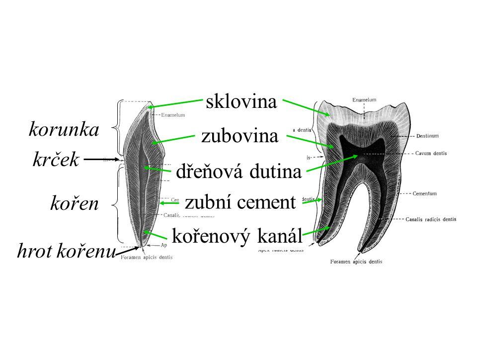 dřeňová dutina sklovina zubovina kořenový kanál zubní cement korunka krček kořen hrot kořenu