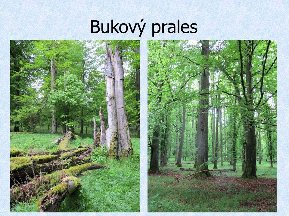 Bukový prales