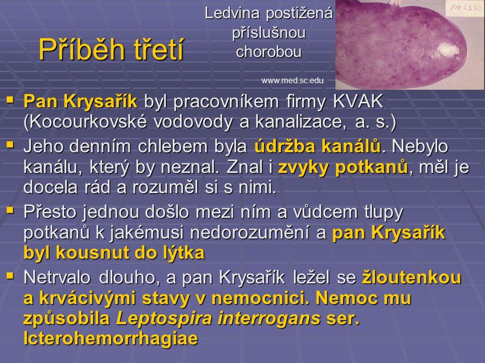 Příběh třetí  Pan Krysařík byl pracovníkem firmy KVAK (Kocourkovské vodovody a kanalizace, a.