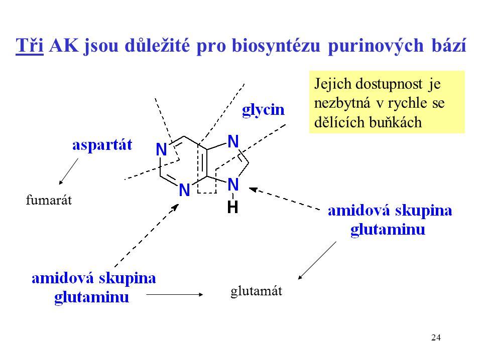 24 Tři AK jsou důležité pro biosyntézu purinových bází fumarát glutamát Jejich dostupnost je nezbytná v rychle se dělících buňkách