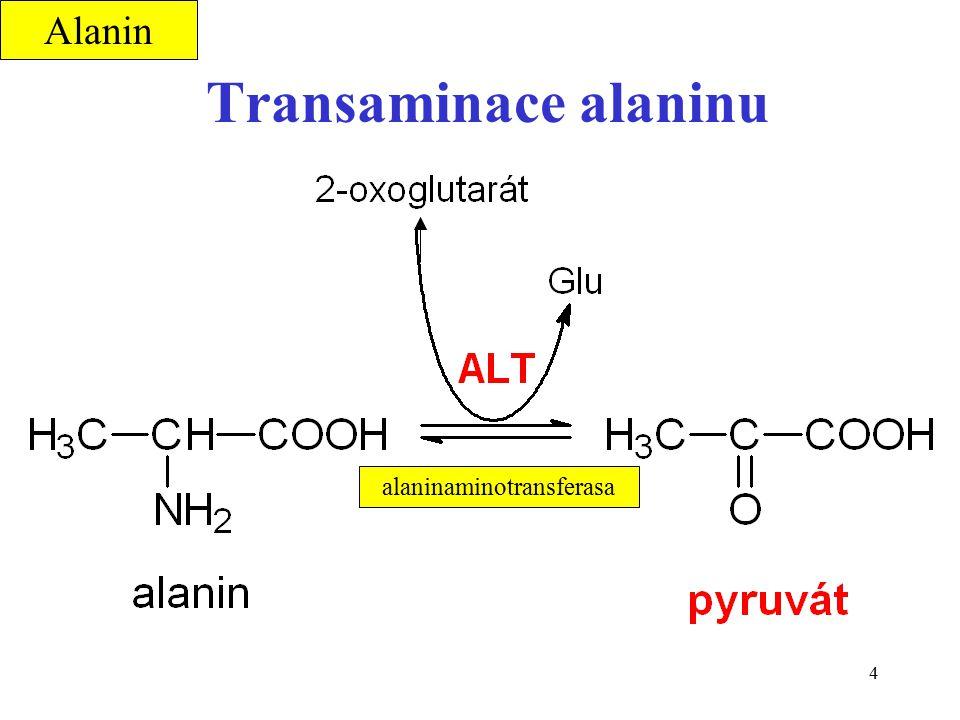4 Transaminace alaninu alaninaminotransferasa Alanin